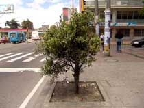 bogotatree.jpg