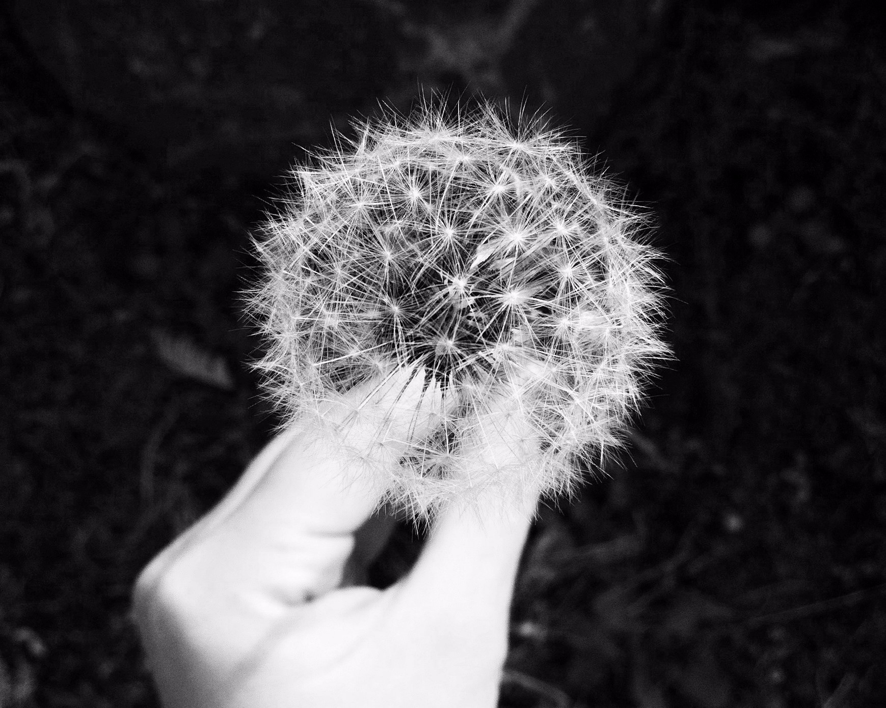 dandelion-692317_b&w