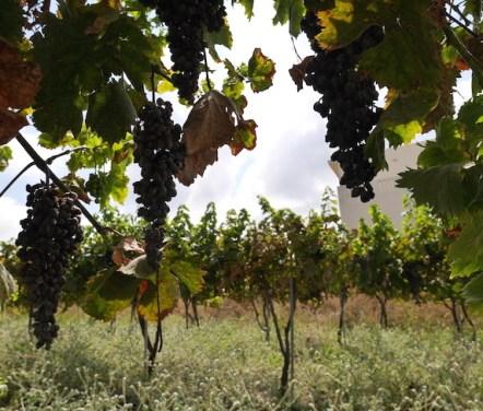 Belvilla wijngaard druiven