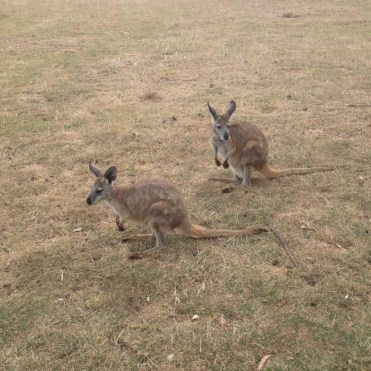 Kangaroes Melbourne australie