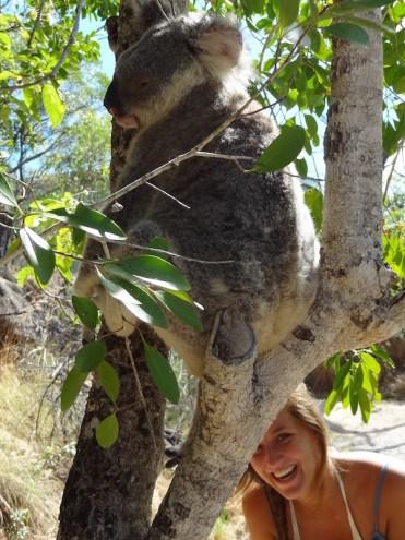 Koala beer dieren in Australie