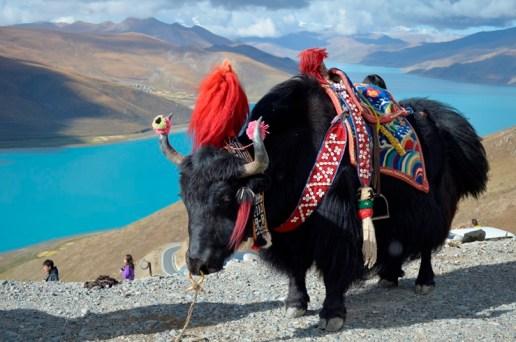 Tibet Jak