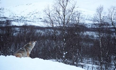 Wolven huilen noorwegen