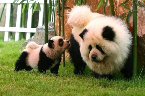 perros-chow-chow-bambu