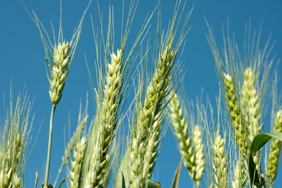 Parable of the Wheat & Weeds