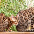Bengal Cats sitting on Garden Table