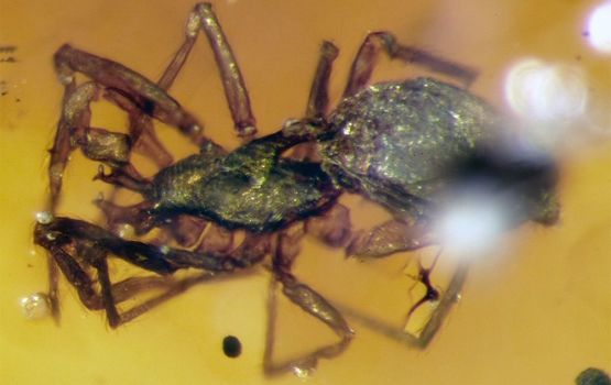 Two 99 Million Year Old Spiders Discovered