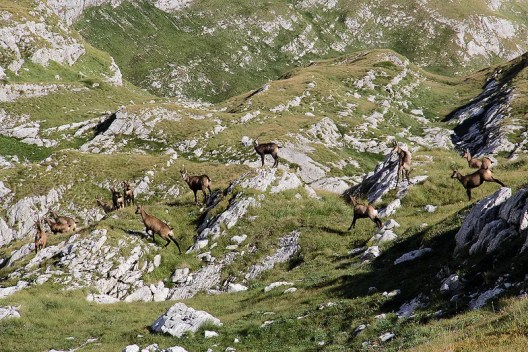 The wild goats make running on this terrain look easy