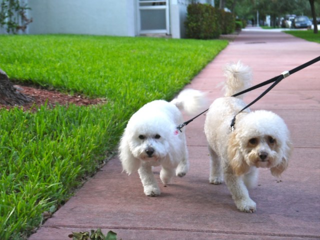 barboncino_withe_dog_miami _beach