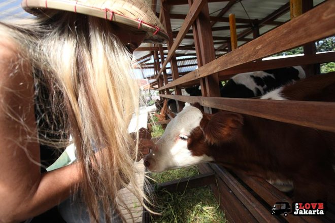 Feeding cows at Kuntum Bogor_Quantum Nursery Bogor_Kuntum Farmfield Bogor_Tasha May_welovejakarta_we love jakarta_jakarta with kids_kids in indonesia_what to do with kids on the weekend in jakarta