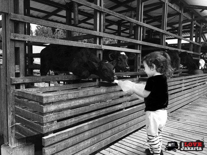 Tasha May_We love jakarta_Kuntum Nurseries_feeding a calf