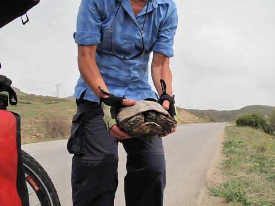 Rettung einer Schildkröte von der Straße