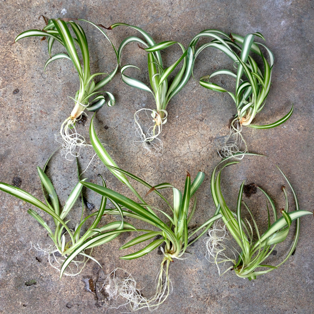 Spider Plant Adoption