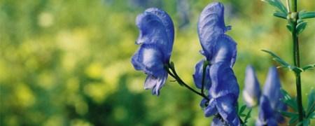 blue monkshood