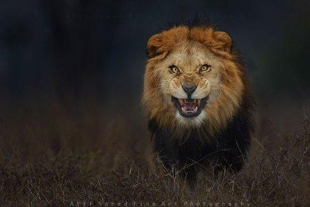 feirce lion