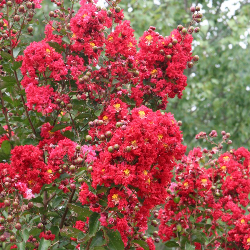 Large Of Red Rocket Crape Myrtle