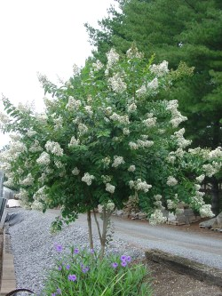 Small Of Acoma Crape Myrtle