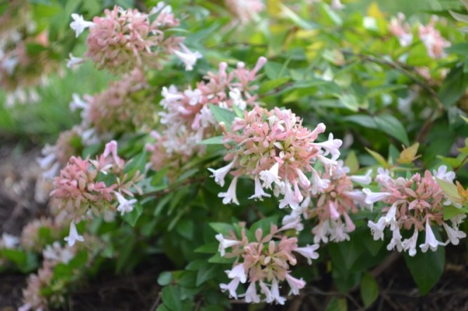 abelia canyon creek, Summer Garden