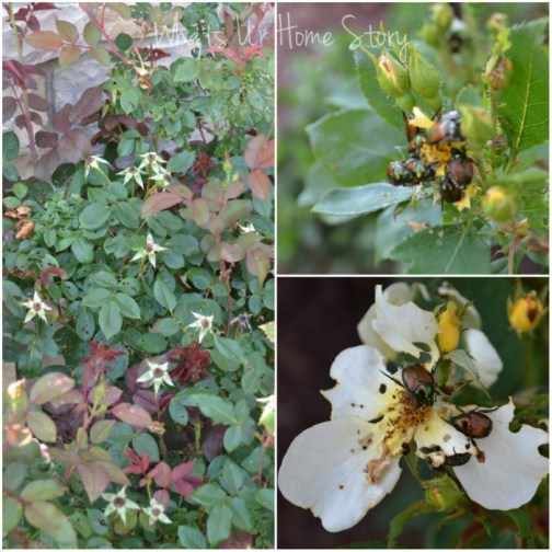Whats Ur Home Story: Japanese Beetle prevention, Japanese Beetle cure
