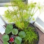 DIY Water Garden, how to make a water garden on the deck; water lily, dwarf papyrus, blue moneywort
