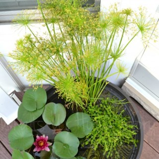 How to Grow Water Lilies on Your Deck