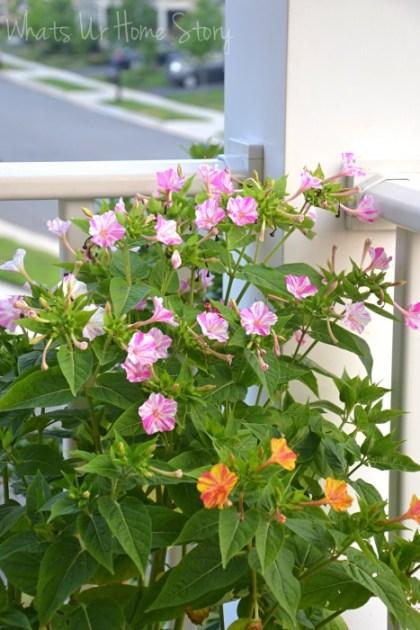 Whats Ur Home Story: four o'clock flower,Summer Garden