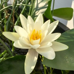 Nymphaea alba water lily or Cream water lily grown in a container water garden
