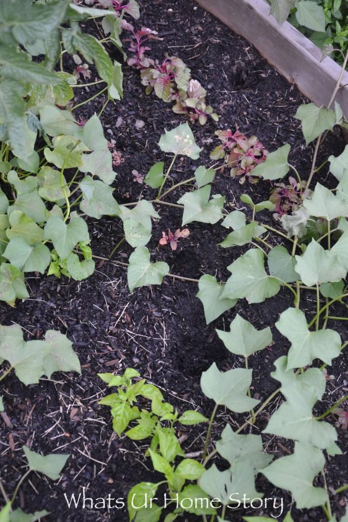 Vegetable Bed Update