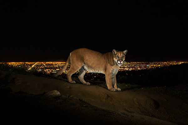 Los Angeles' mountain lion