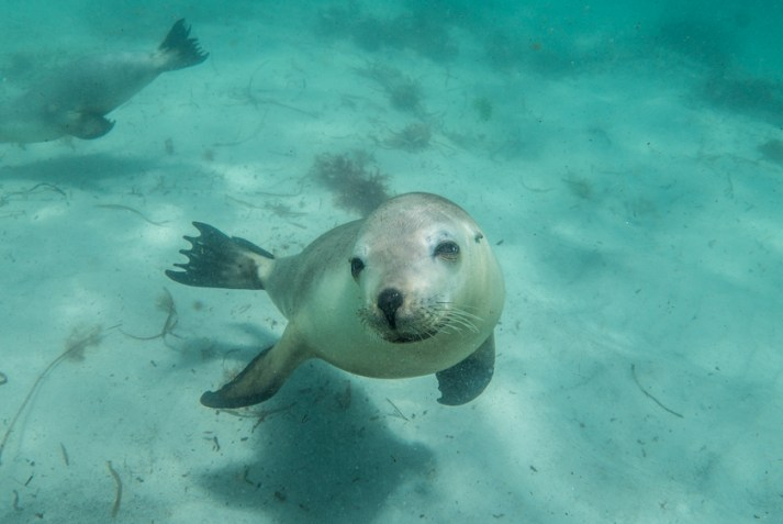 Australian-Sea-Lions-swimming-Calypso-Dive-Charters-Hopkins-Island