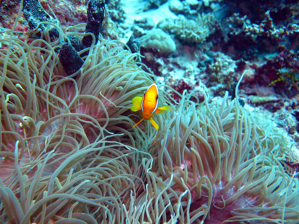 Clown fish, anemone, Uepi Island, Solomon Islands