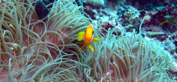 Clown fish, anemone, Uepi Island, Solomon Islands