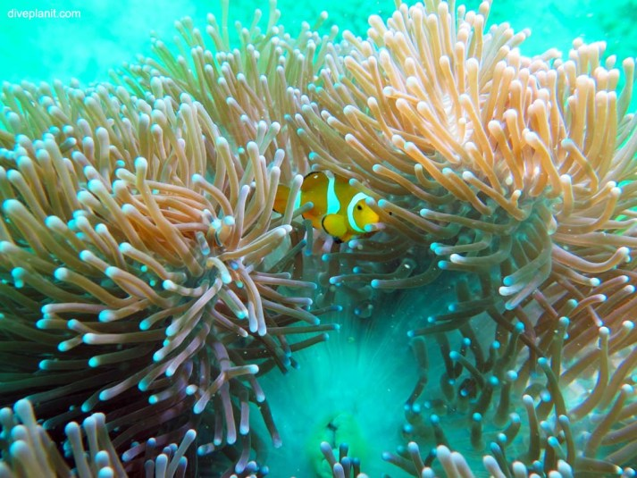 Anemone fish, diving at Cepor Cepor.