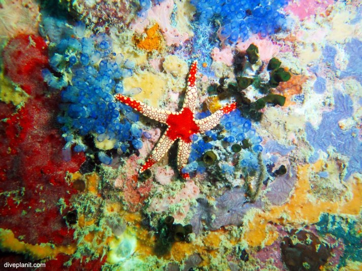 Starfish, Lighthouse Wreck. Diving near Kepayang Island.
