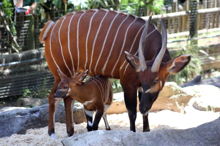 Taronga Zoo Bongo Calf Photo by Paul Fahy