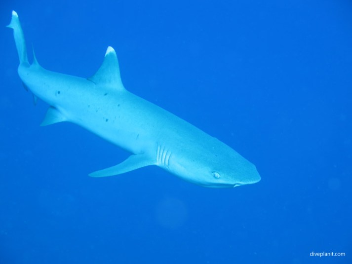 White tipped shark, diving Yasawa Islands, Fiji