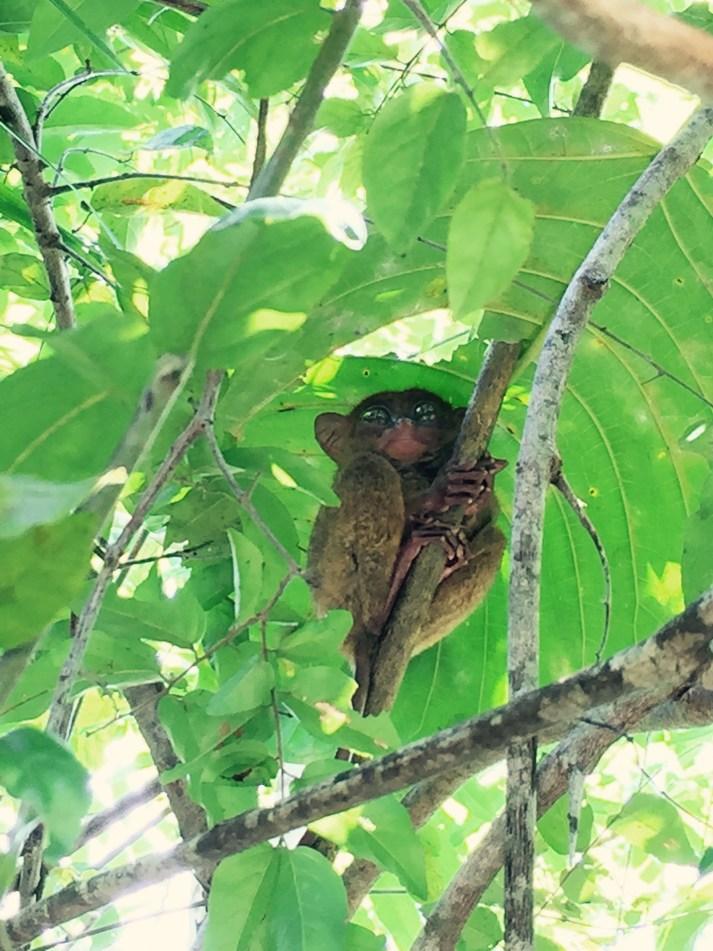 Tarsier monkey bohol