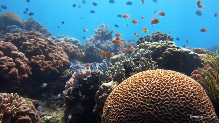 Pretty coral reef diving Anda Bohol Philippines