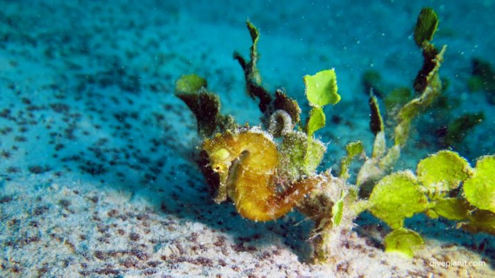 0861-Thorny-Seahorse-at-Club-Paradise-House-Reef-diving-Busuanga-Palawan-Philippines-DPI-0861