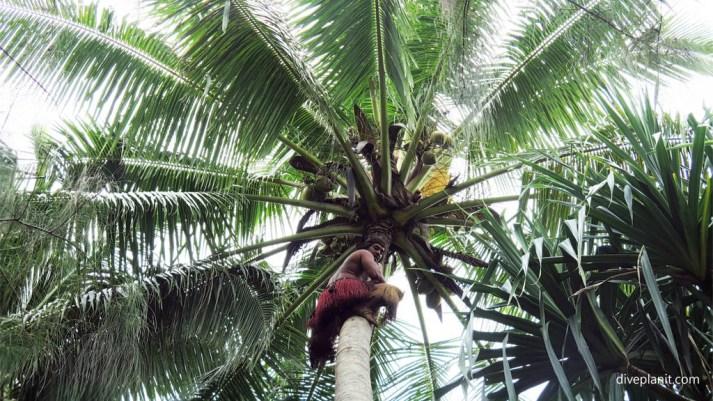 4385-Coconut-climbing-display-at-Muri-Lagoon-Rarotonga-Cook-Islands-DPI-4385