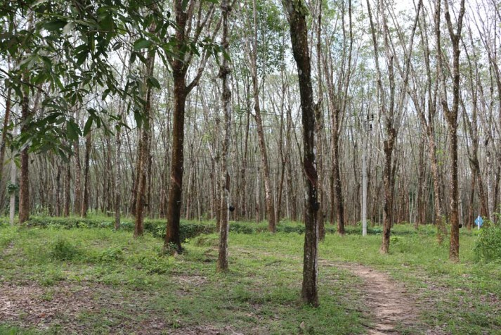 koh-yao-home-stay-rubber-plantation
