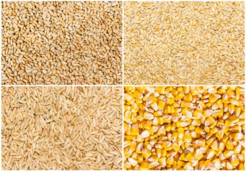 Grain of wheat, barley, rye and corn