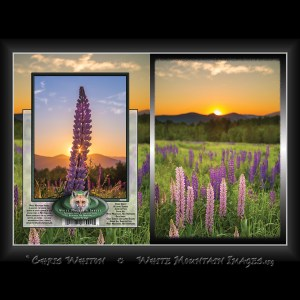 #2060 A Lupine Sunrise Notecard