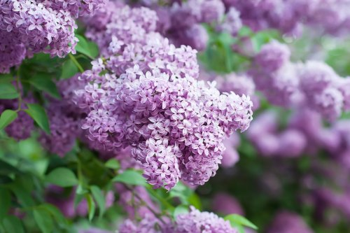 Medium Of Dwarf Korean Lilac