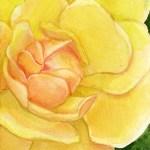 2013-10-yellowrose