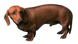 frighteneddaschund