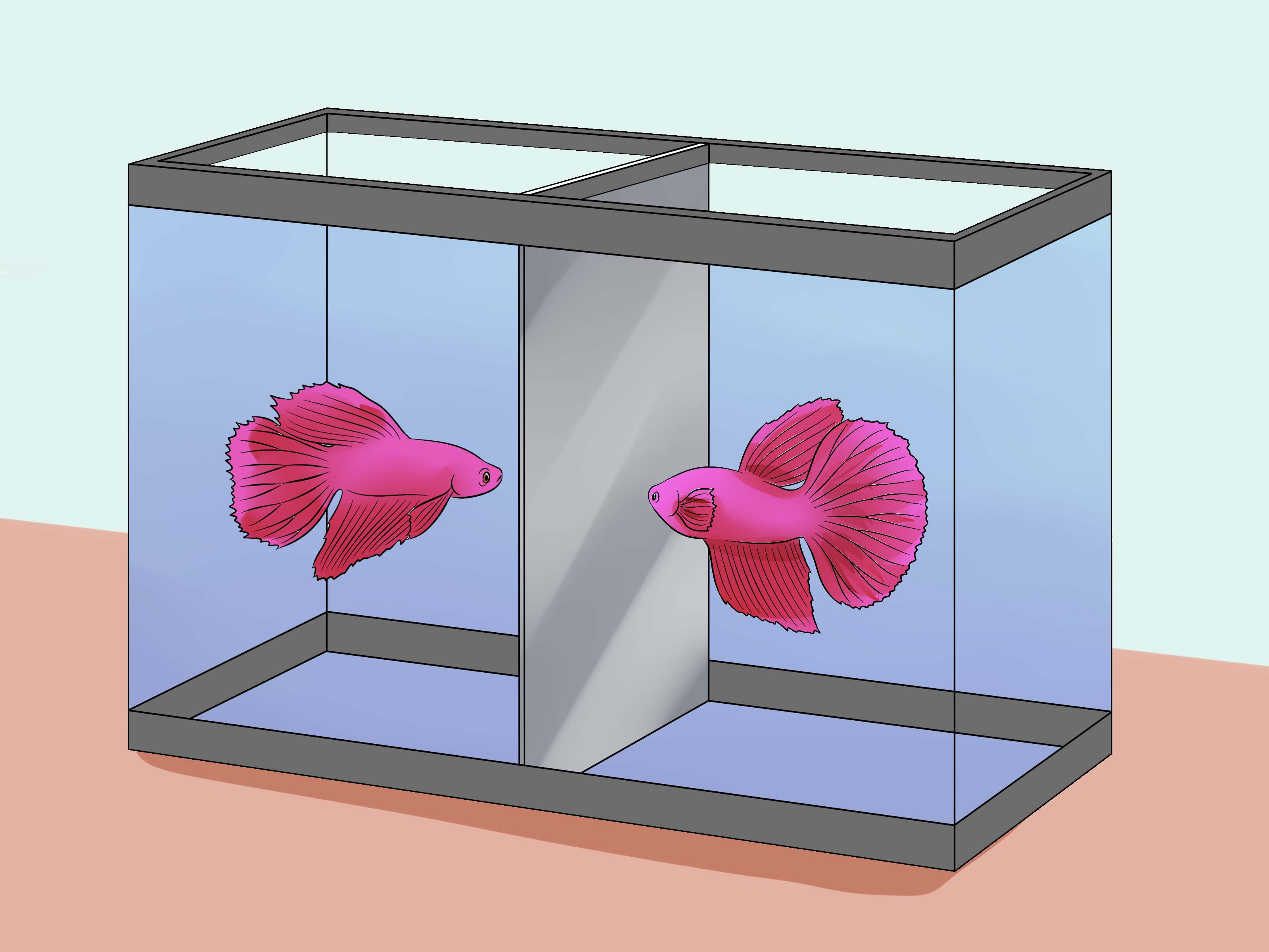 Fullsize Of Betta Fish Lifespan