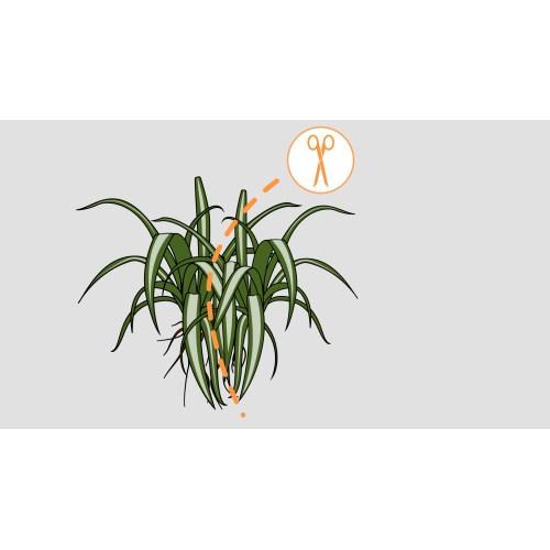 Medium Crop Of Spider Plant Babies