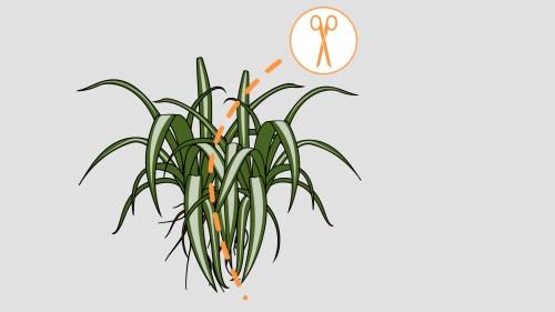Medium Of Spider Plant Babies