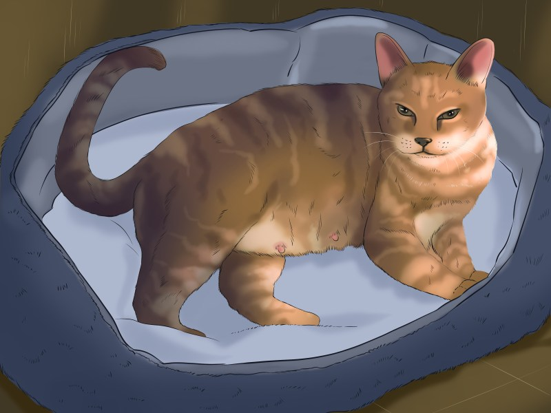 Large Of Do Male Cats Have Nipples